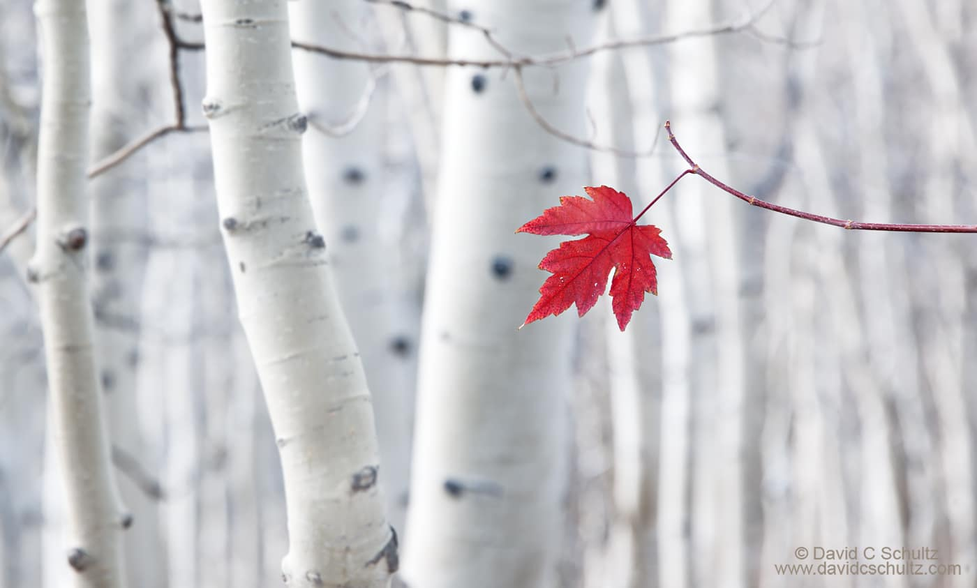 Aspen trees and a maple leaf in the Wasatch Mountains, Utah - Image #191-72