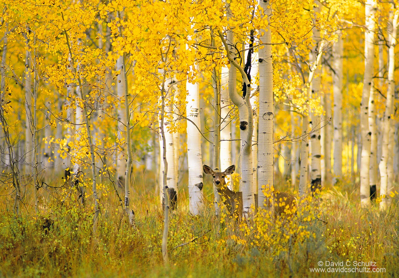 Fall and a mule deer in a grove of aspen trees Sundance, Utah - Image #3-1712