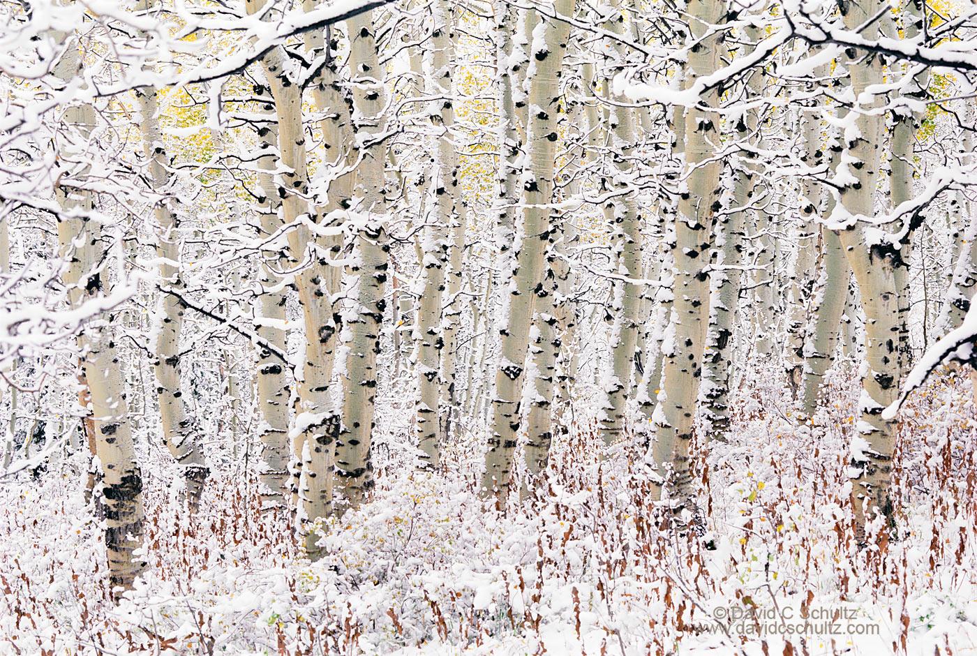 Snow covered aspen trees, Utah - Image #3-812