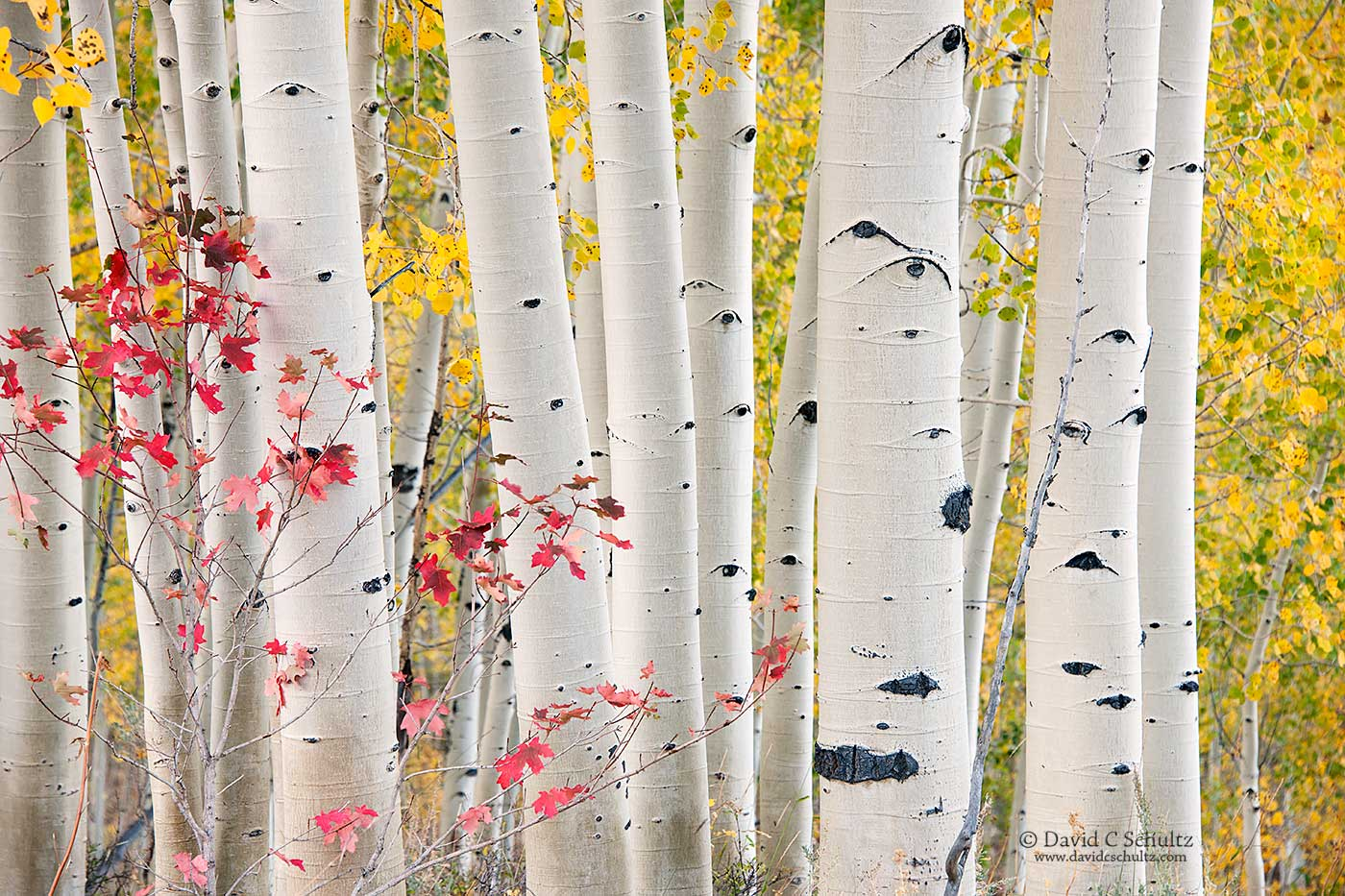 Fall aspen  in the Wasatch Mountains of Utah - Image #3-7456