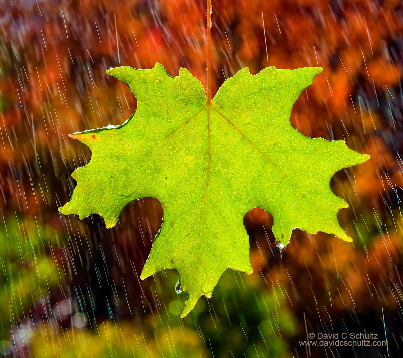 Back-lit maple leaf in the fall - Image #191-47