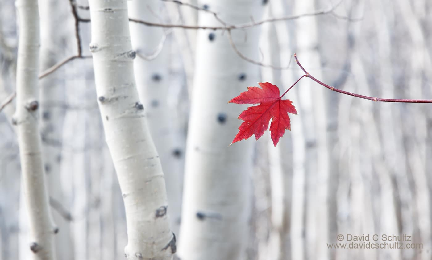 Red maple leaf in grove of aspen trees - Image #191-722