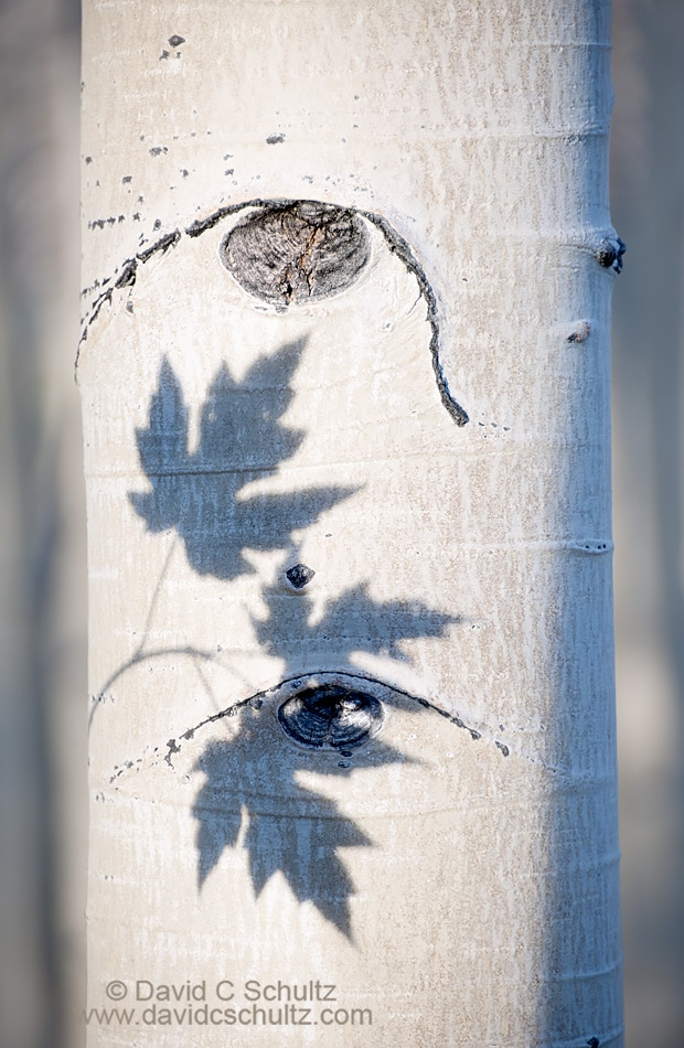 Shadow of maple leaves on an aspen tree trunk - Image #191-852