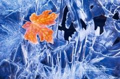 Maple leaf on frozen stream - Image #3-6856
