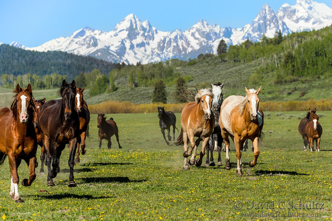 Horses and the Grand Tetons - Image #47-1282