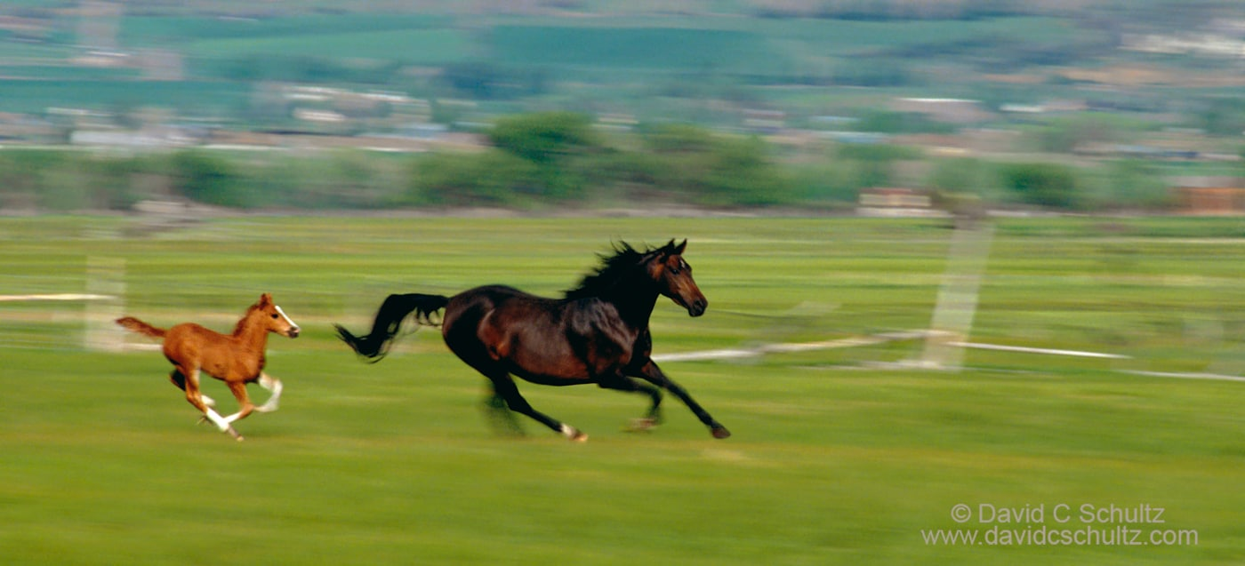 Foal chasing mare in the Heber Valley, Utah - Image #47-212