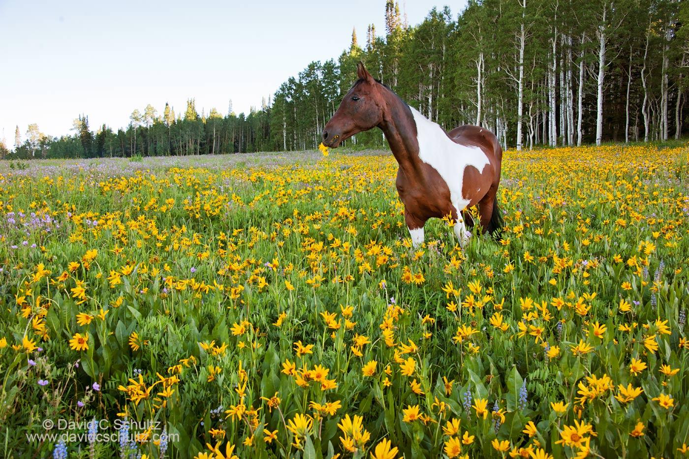 Horse in wildflowers in the Uinta Mountains, Utah - Image #47-831
