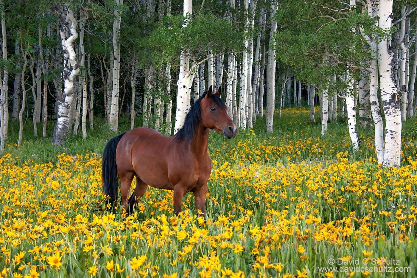 Horse in wildflowers in the Uinta Mountains, Utah - Image #47-881