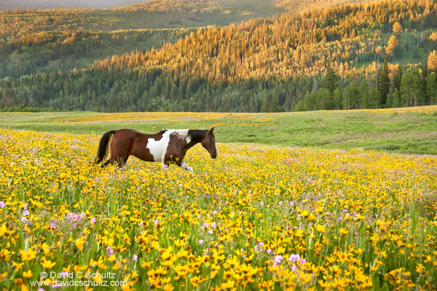 Horse in a field of wildflowers- Image #47-945