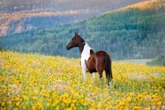 Horse in a field of wildflowers - Image #47-928