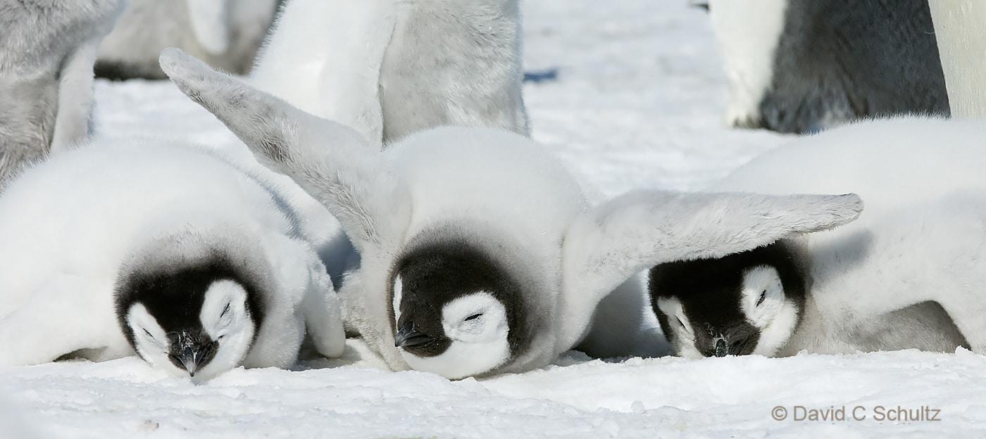 Emperor penguins near Snow Hill Island, Antarctica - Image #163-0922
