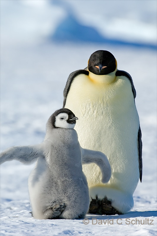 Emperor penguin parent with chick - Image #163-1193