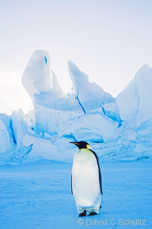Emperor penguins near Snow Hill Island, Antarctica - Image #163-1236