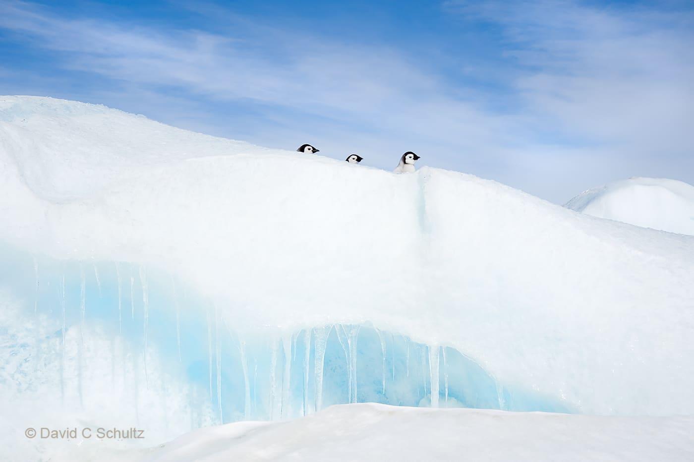 Emperor penguins near Snow Hill Island, Antarctica - Image #163-1392