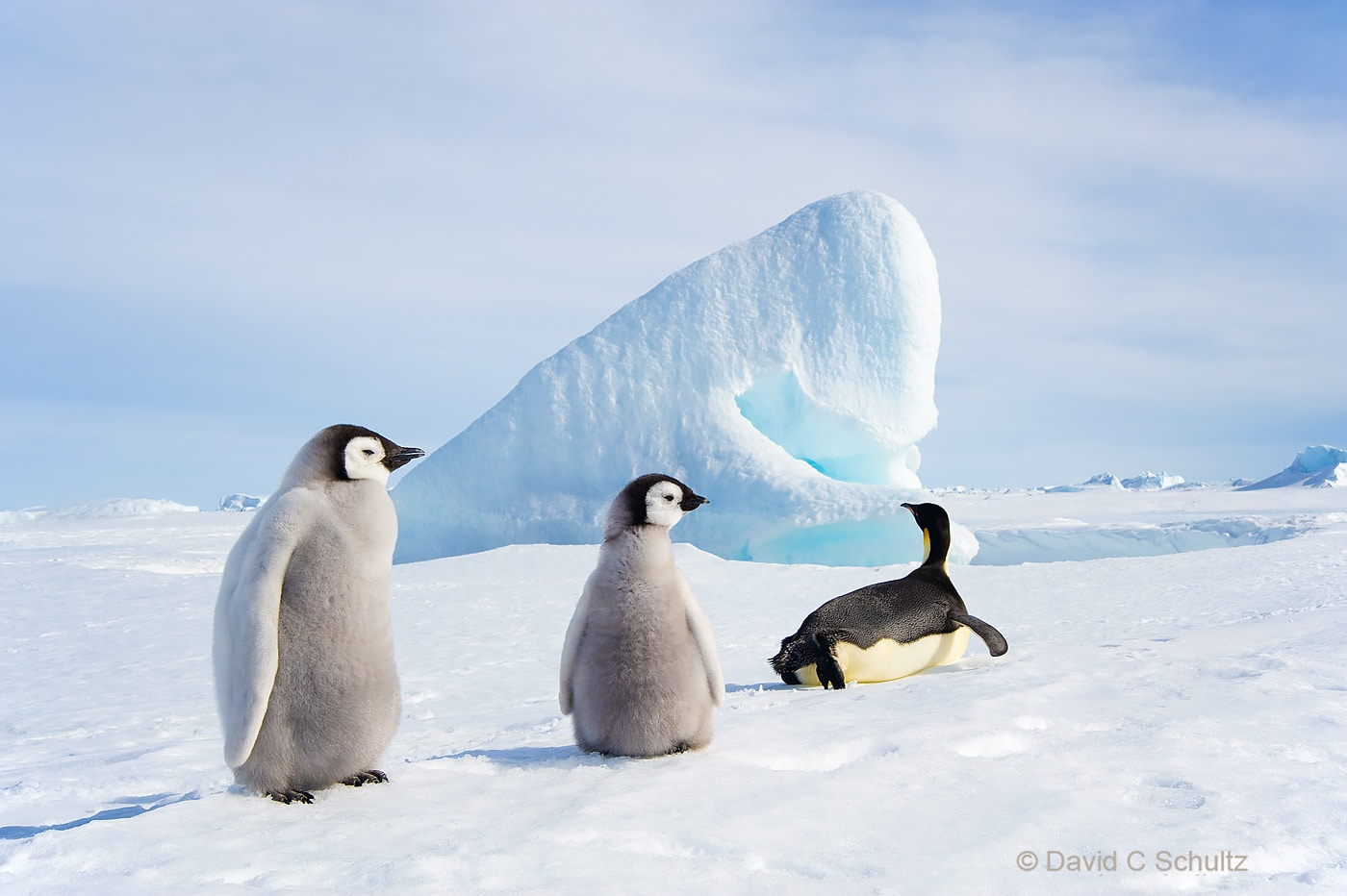 Emperor penguins near Snow Hill Island, Antarctica - Image #163-1424