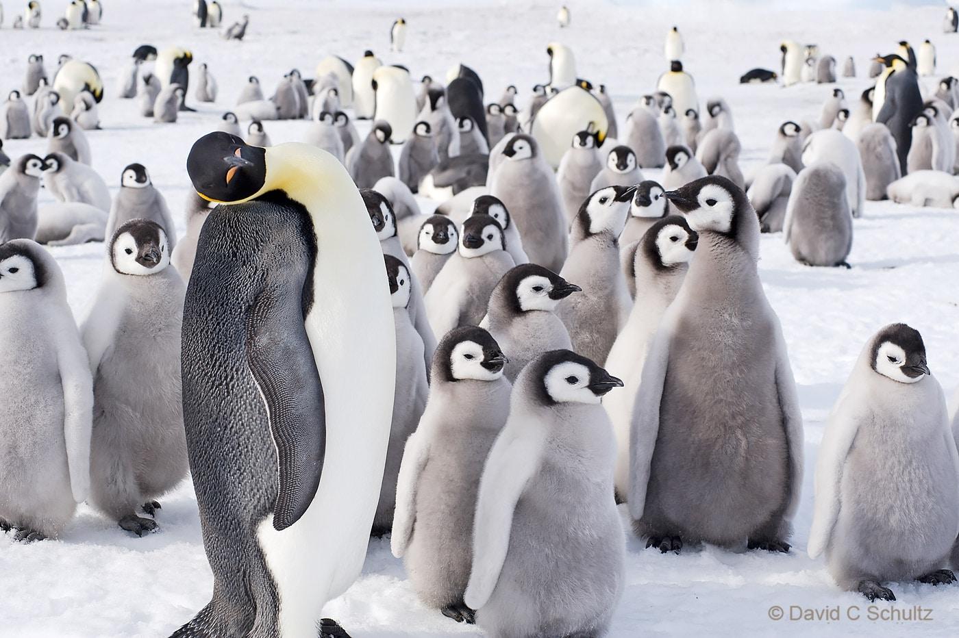 Emperor penguins near Snow Hill Island, Antarctica - Image #163-1454