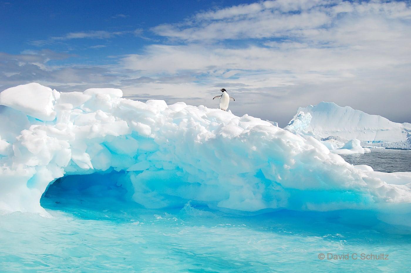 Adelie penguin on an iceberg in Antarctica - Image #163-368
