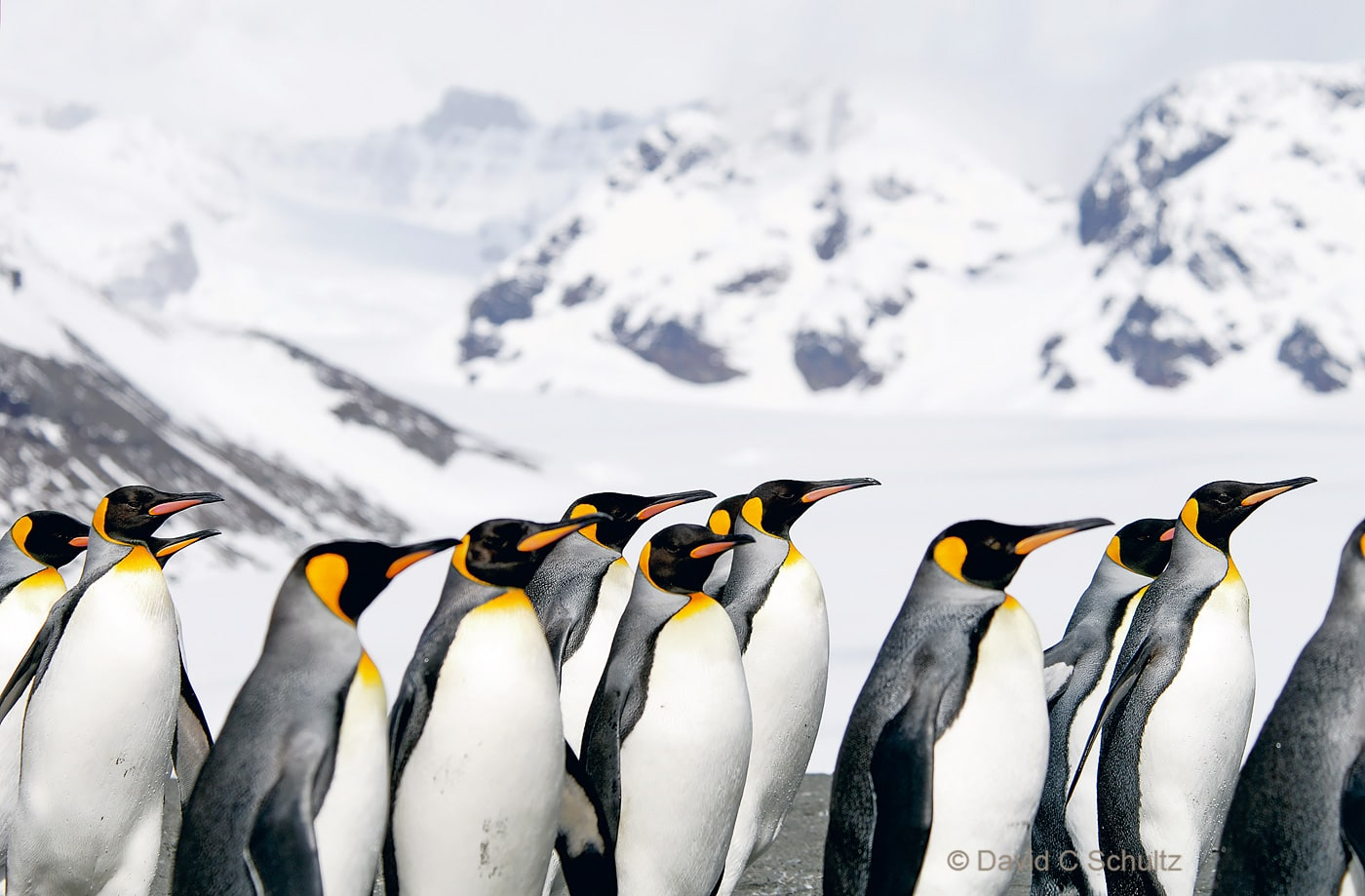 King penguins on South Georgia Island - Image #163-371