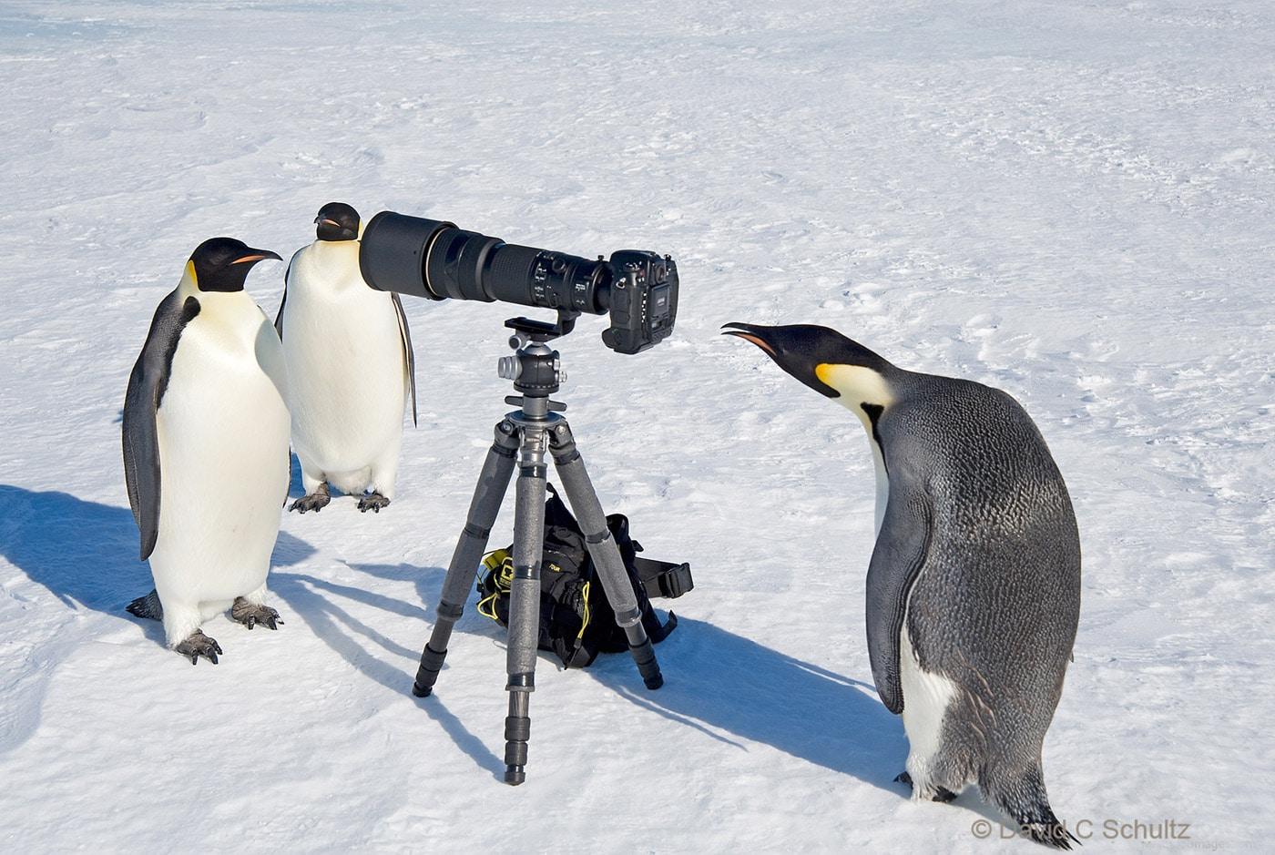 Emperor Penguins Penguin Paparrazi - Image #163-4323