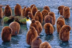 King penguins on South Georgia Island - Image #163-150