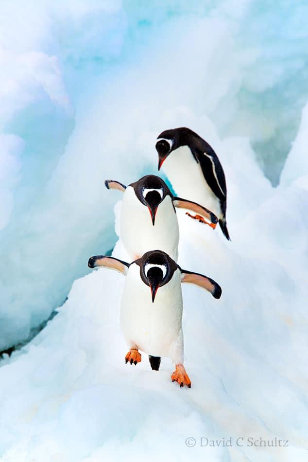 Gentoo penguins in Antarctica - Image #163-1936