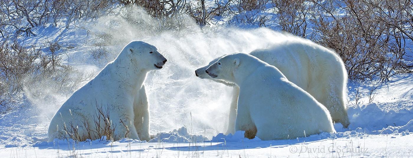 Polar bears, Canada - Image #168-195
