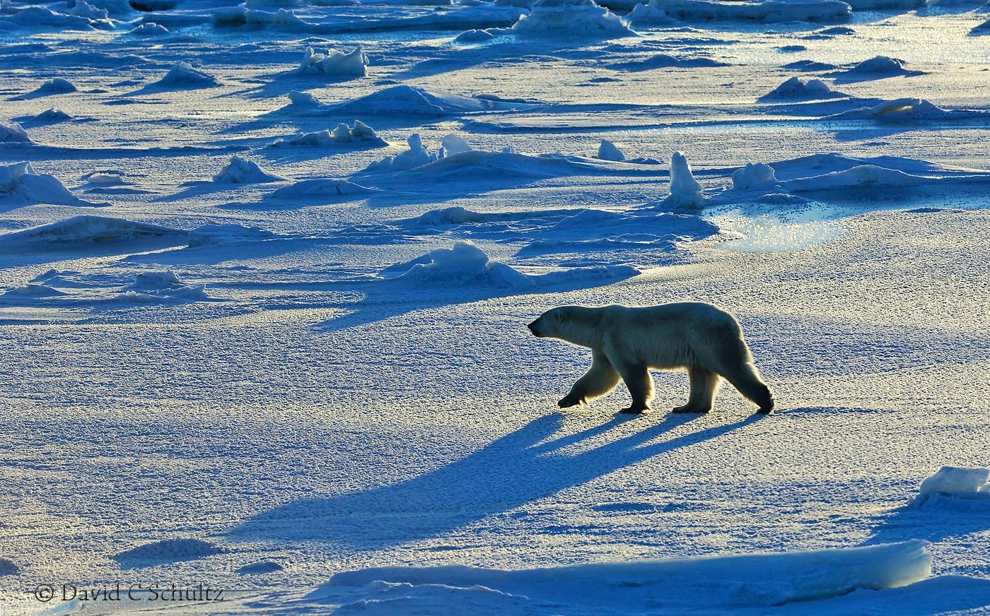 Polar bear, Canada - Image #168-320