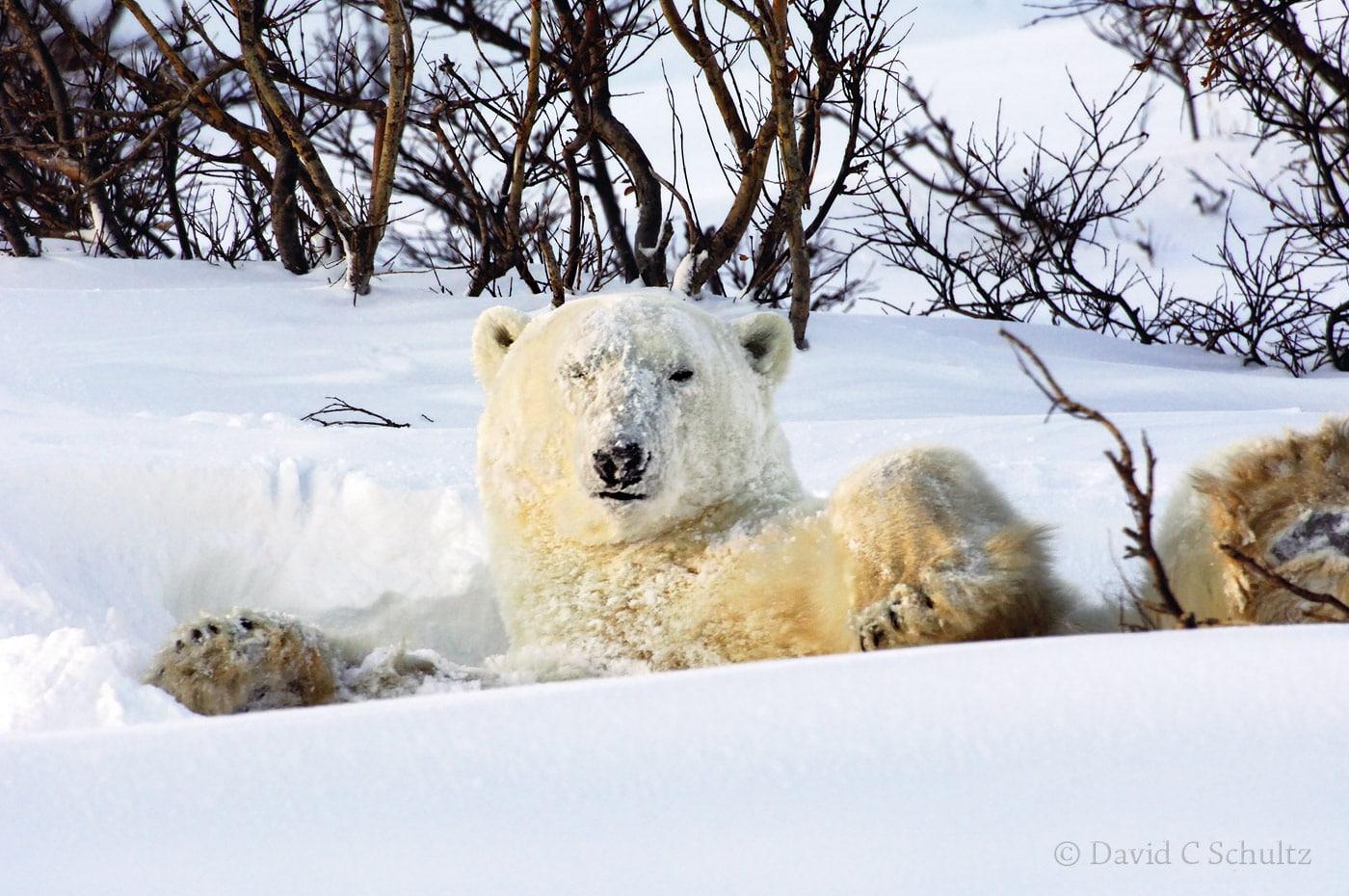 Polar bear, Canada - Image #168-502