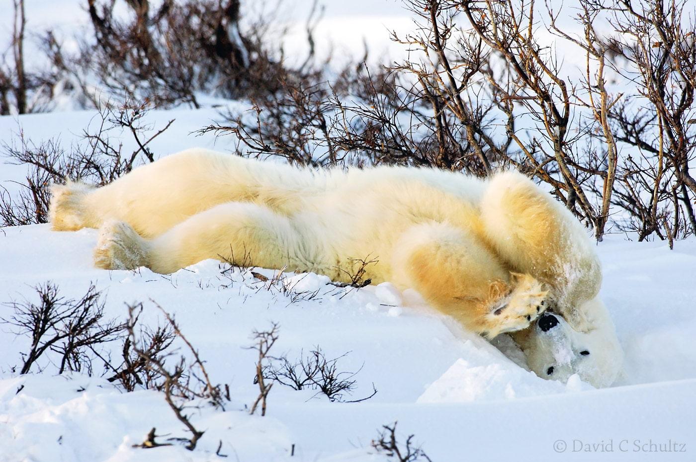 Polar bear, Canada - Image #168-518