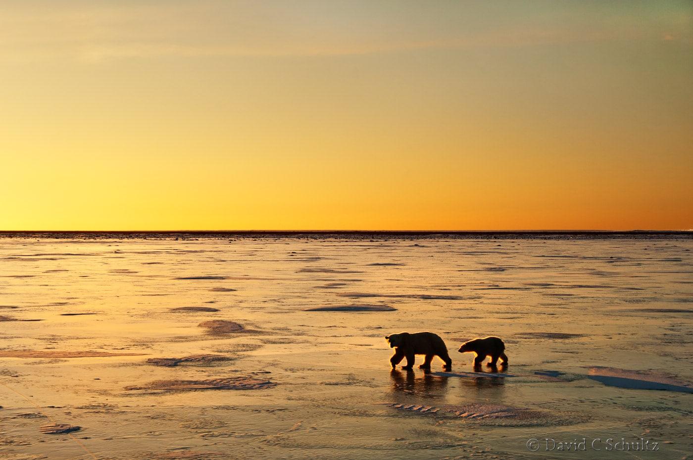 Polar bear, Canada - Image #168-859
