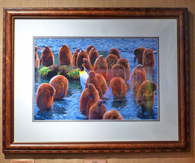 "#9 _fs ""Penguin Day Care"" King Penguin chicks, 36x28"" with frame"