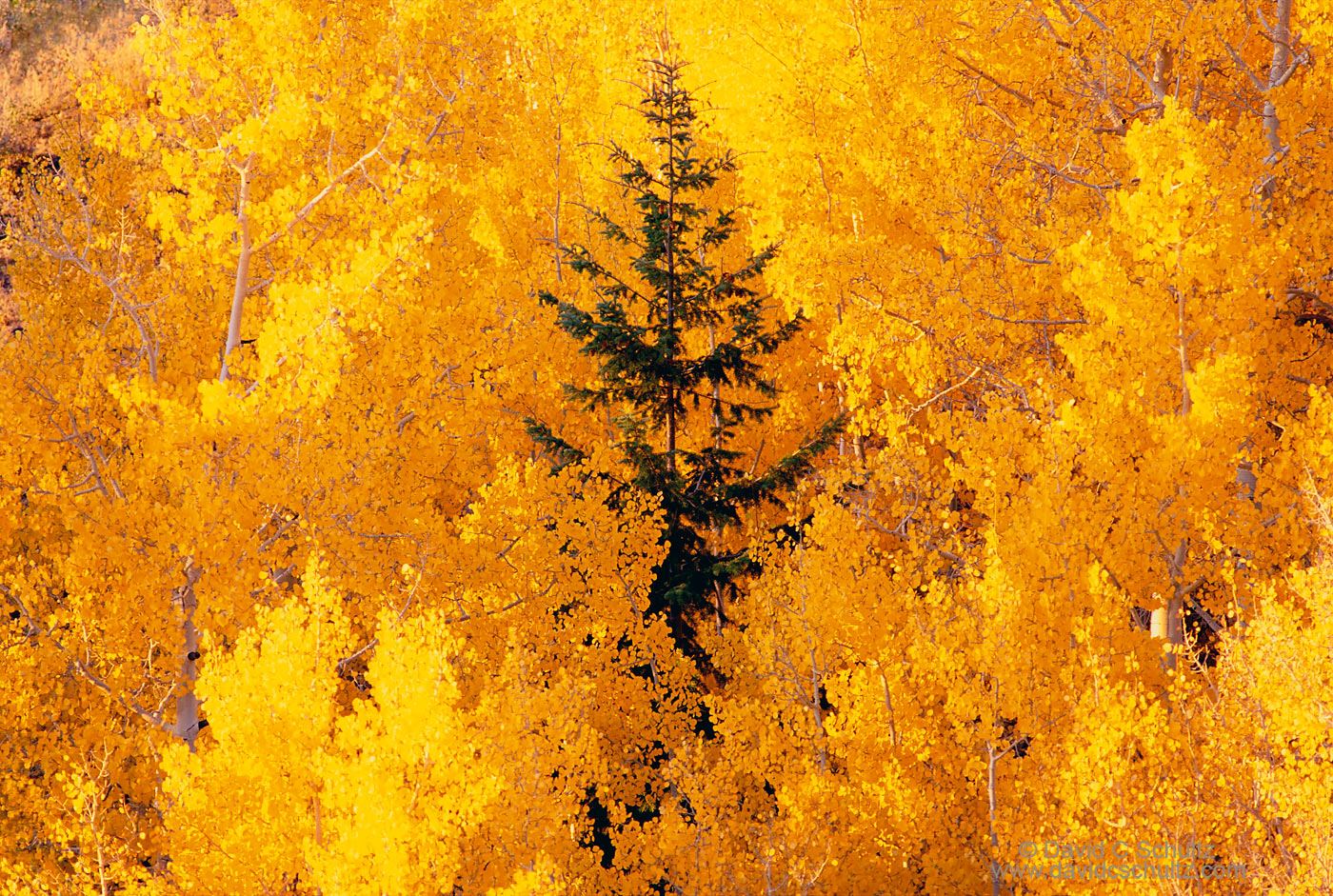 Colorful fall aspen trees in the Dixie national Forest, Utah - Image #3-1372