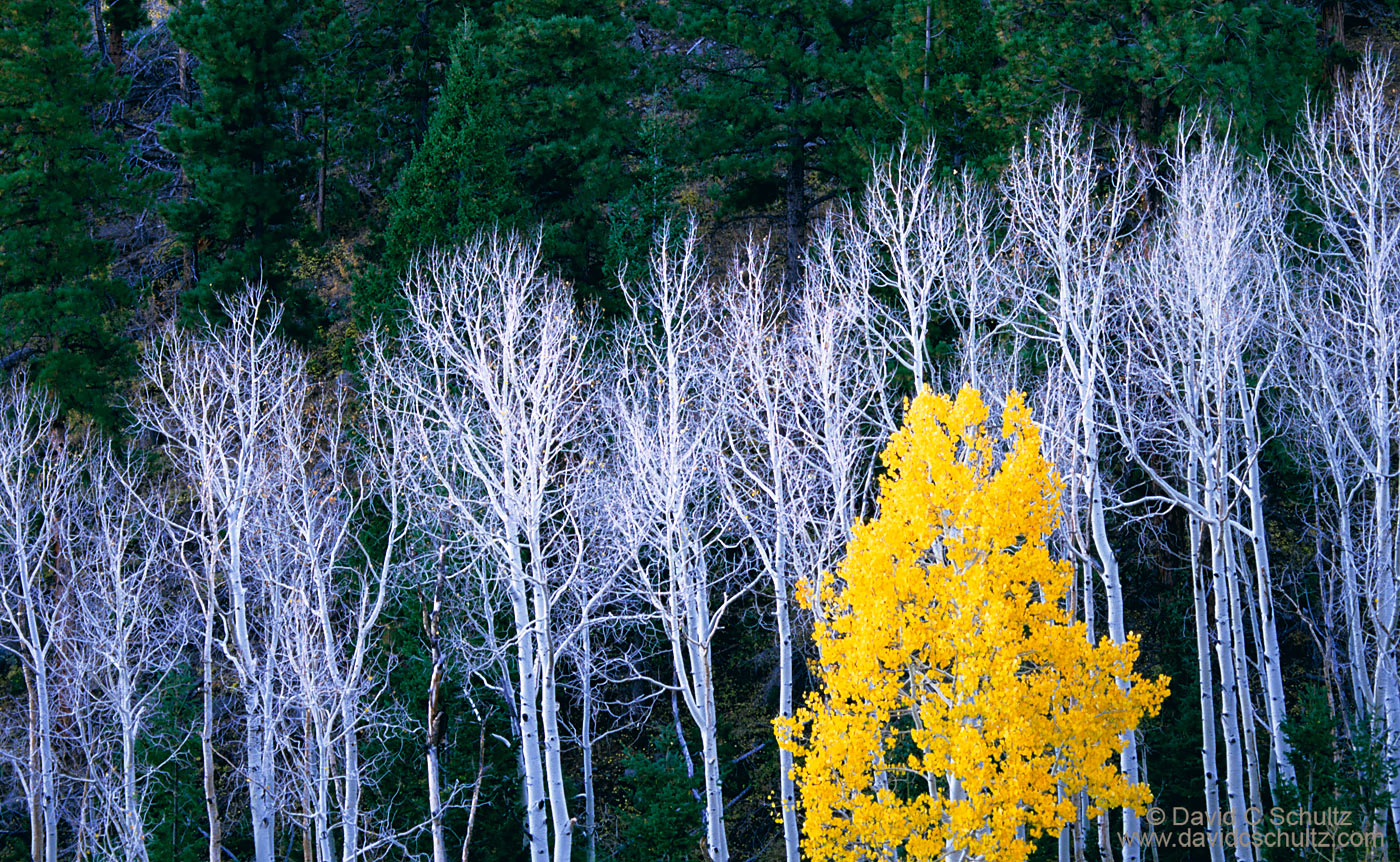 Autumn aspen trees in Utah - Image #3-1530