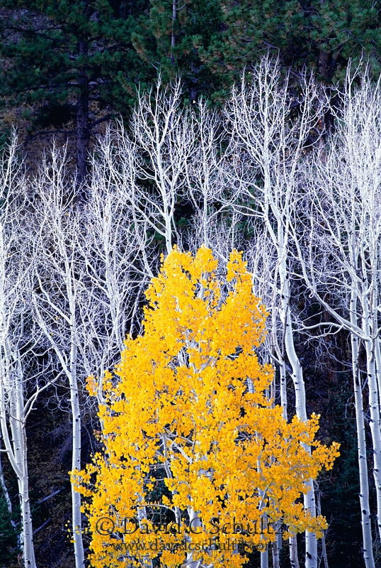 Fall colors with aspen trees in Utah - Image #3-1531