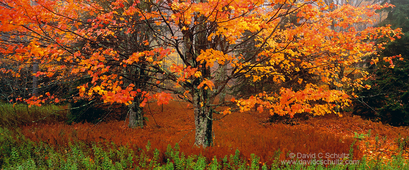 Autumn maple tree in West Virginia - Image #3-4740