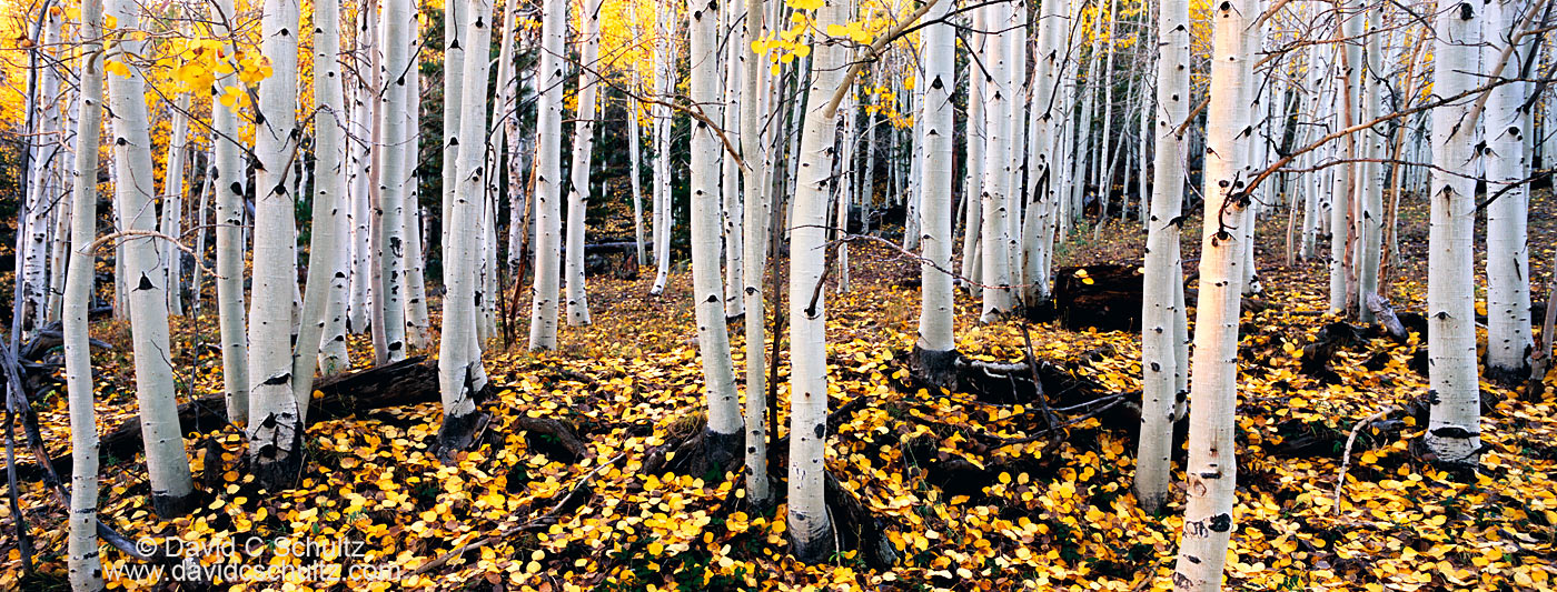 Utah aspen trees in the fall - Image #3-4972