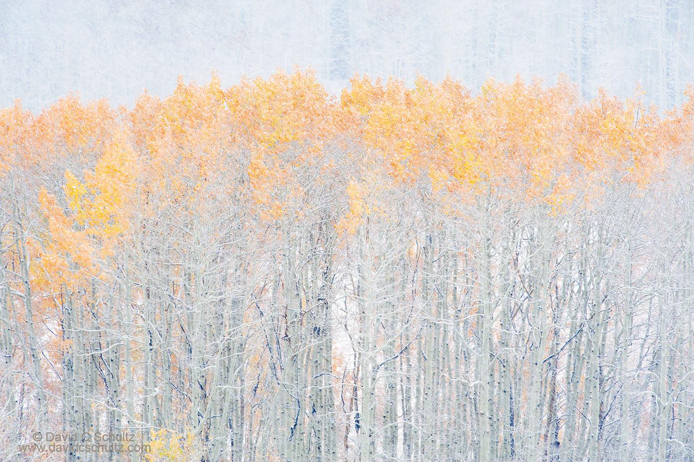 Utah aspen trees in the fall - Image #3-5368