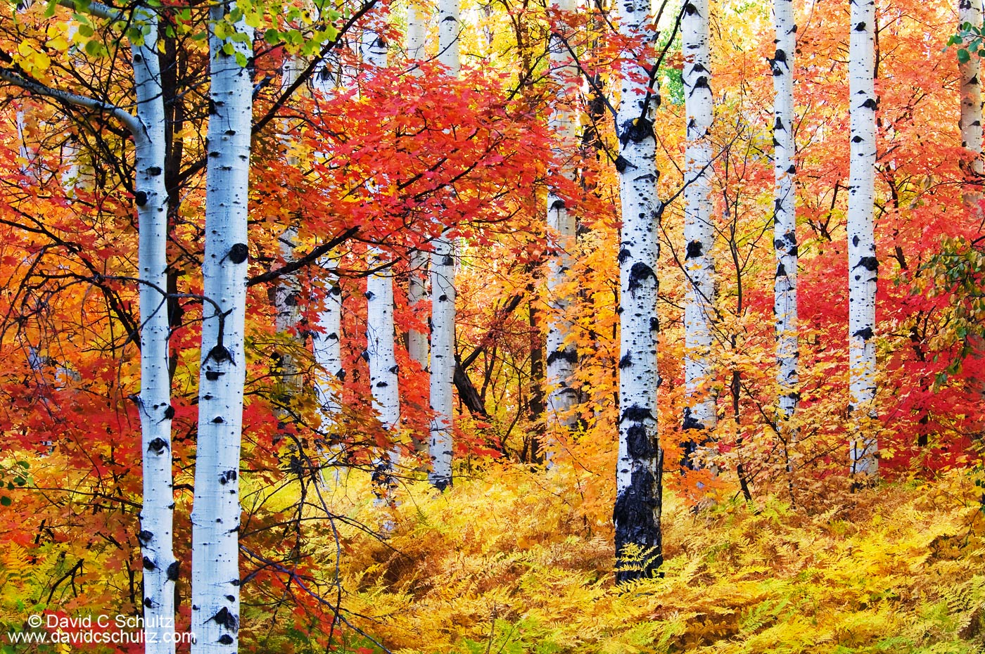 Utah aspen and maple trees in the fall - Image #3-5457