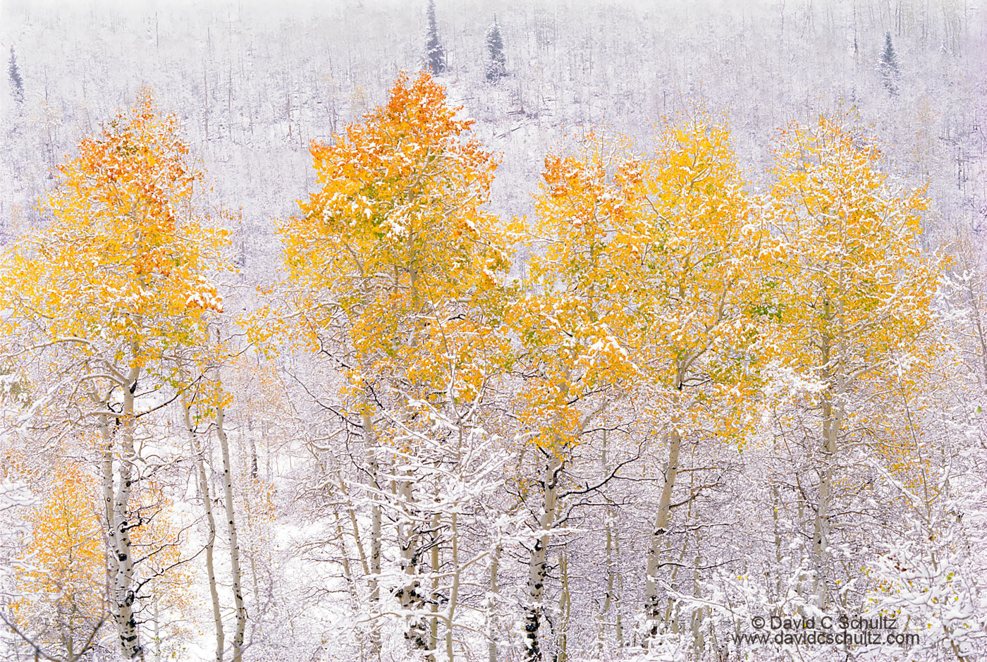 Snow covered aspen trees, Utah - Image #3-810