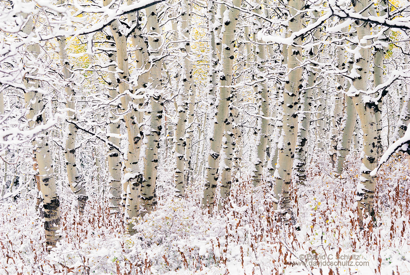 Snow covered aspen trees, Utah - Image #3-812