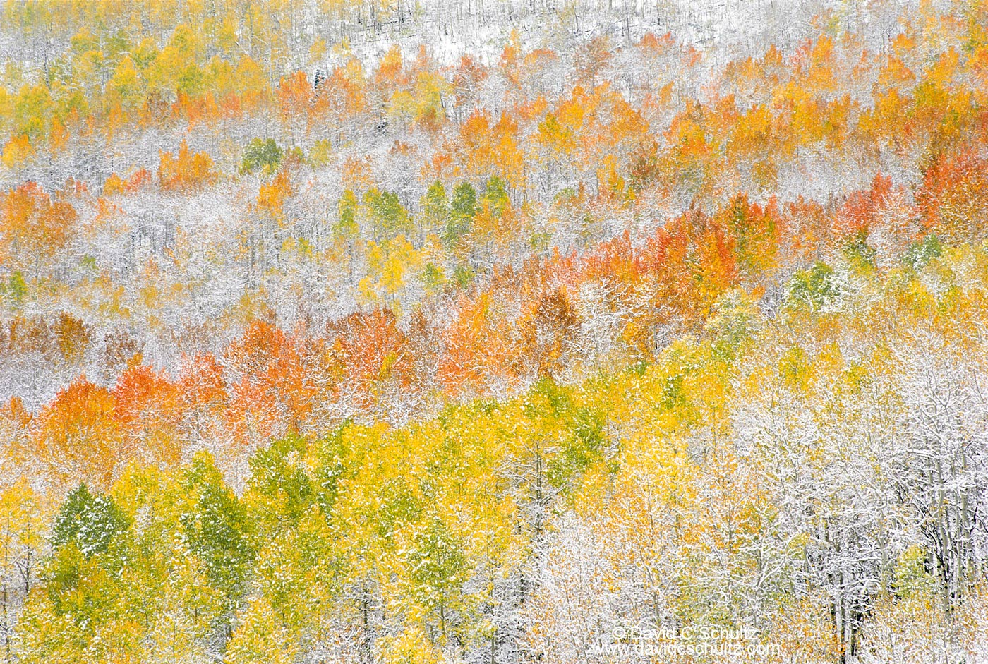 Snow covered aspen trees, Wasatch Mountains, Utah - Image #3-830
