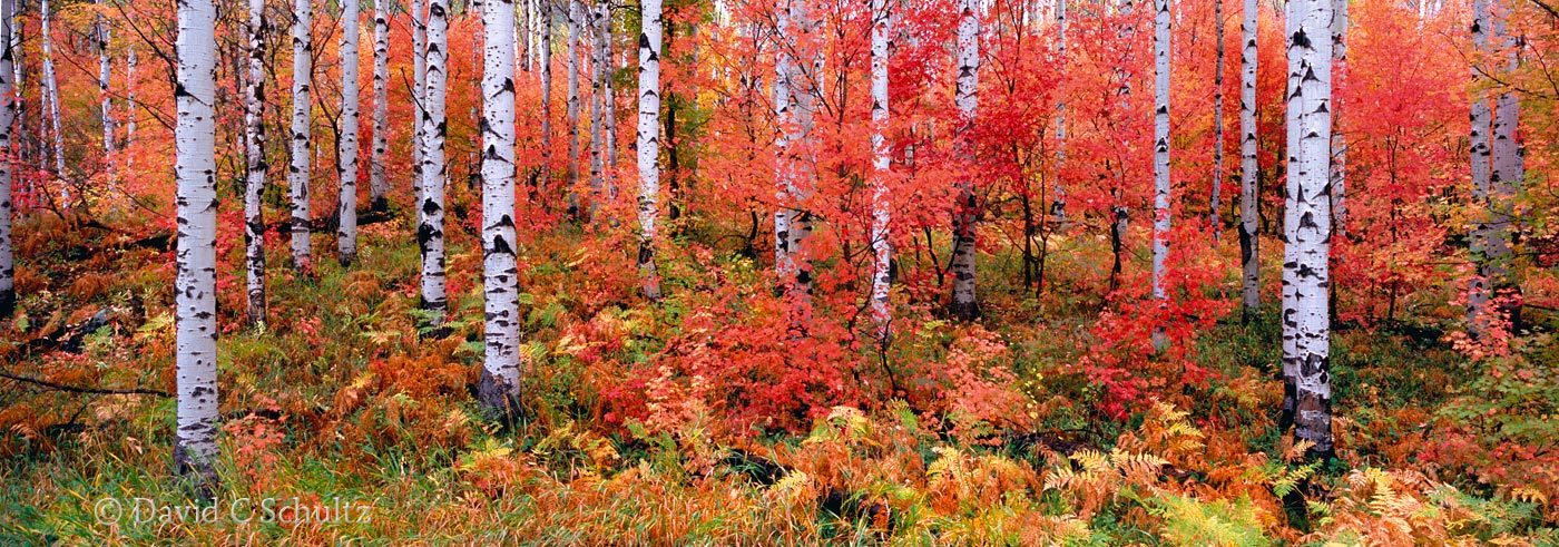 Maple and aspen trees Utah fall - Image #3-5233