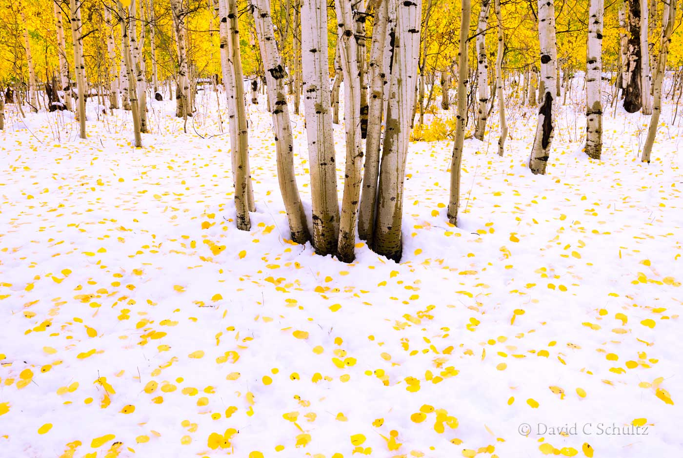 Aspen trees in the Uinta Mountains Utah - Image #3-10374
