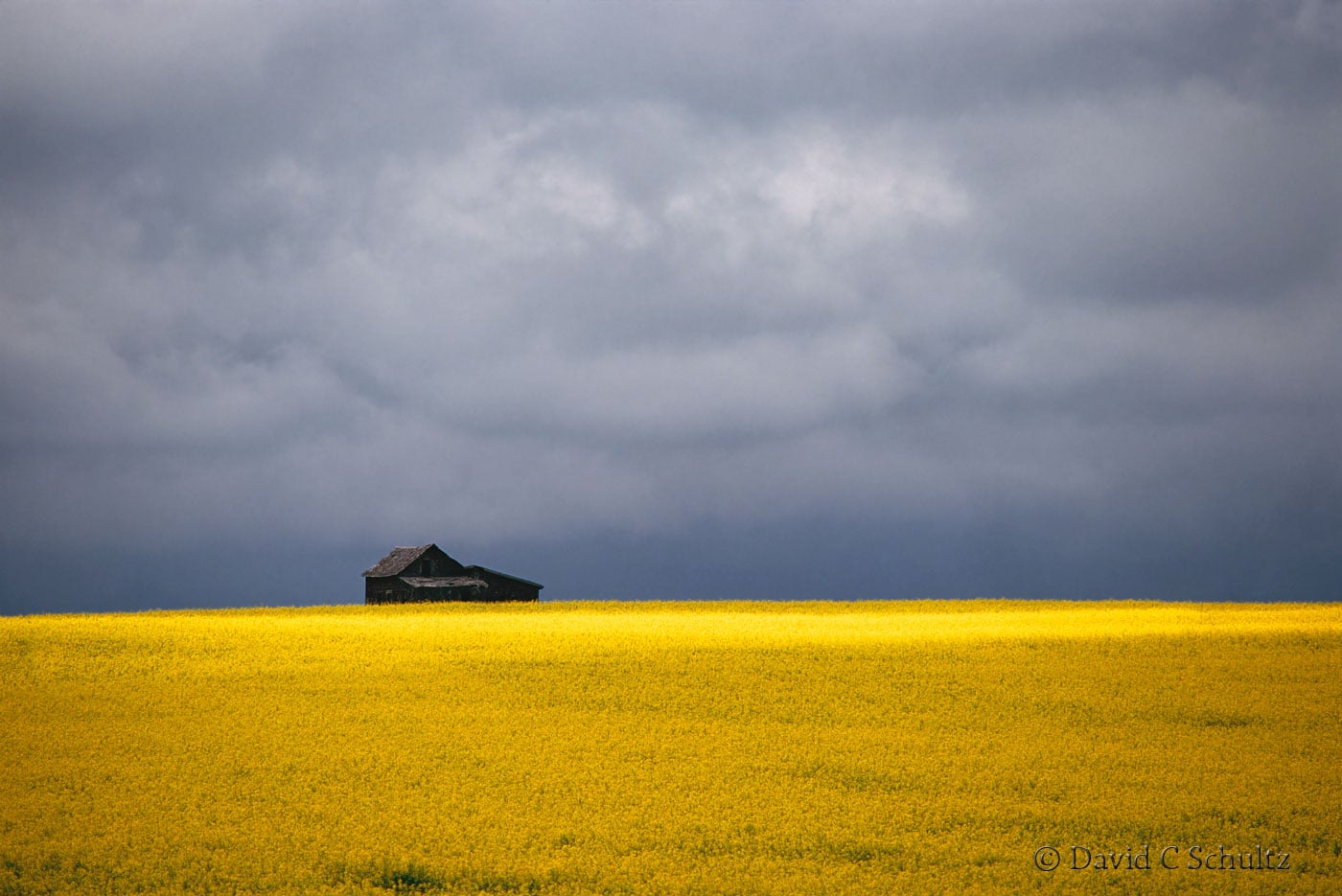 Canola field in bloom in Alberta, Canada - Image #7-1376