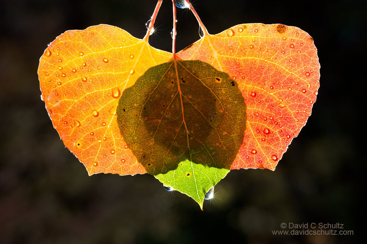 Back-lit aspen leaves in the fall - Image #191-142