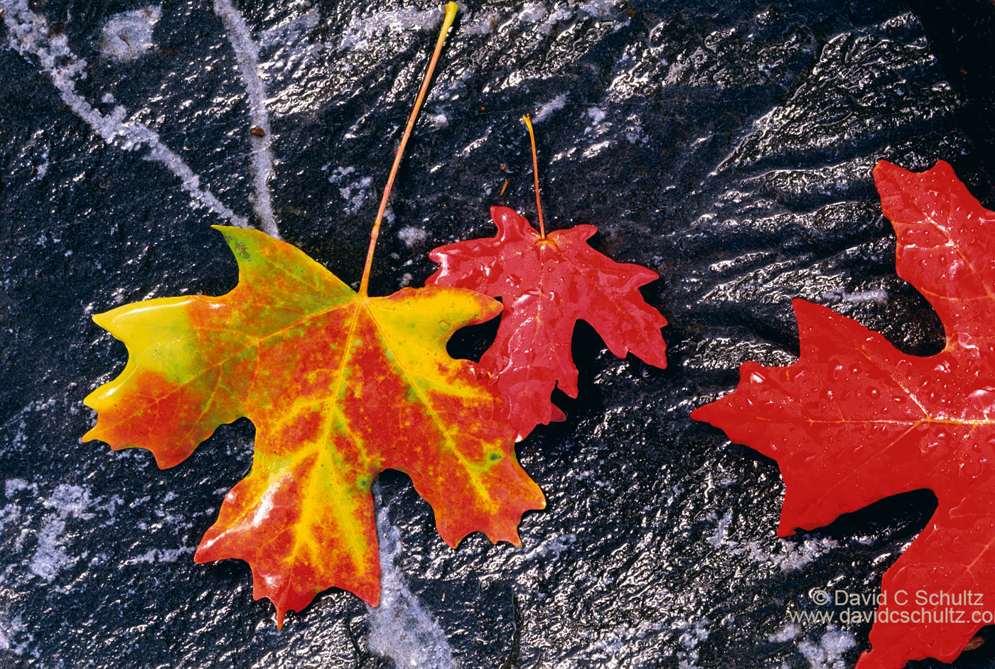 Maple leaves on granite in the fall - Image #3-1571