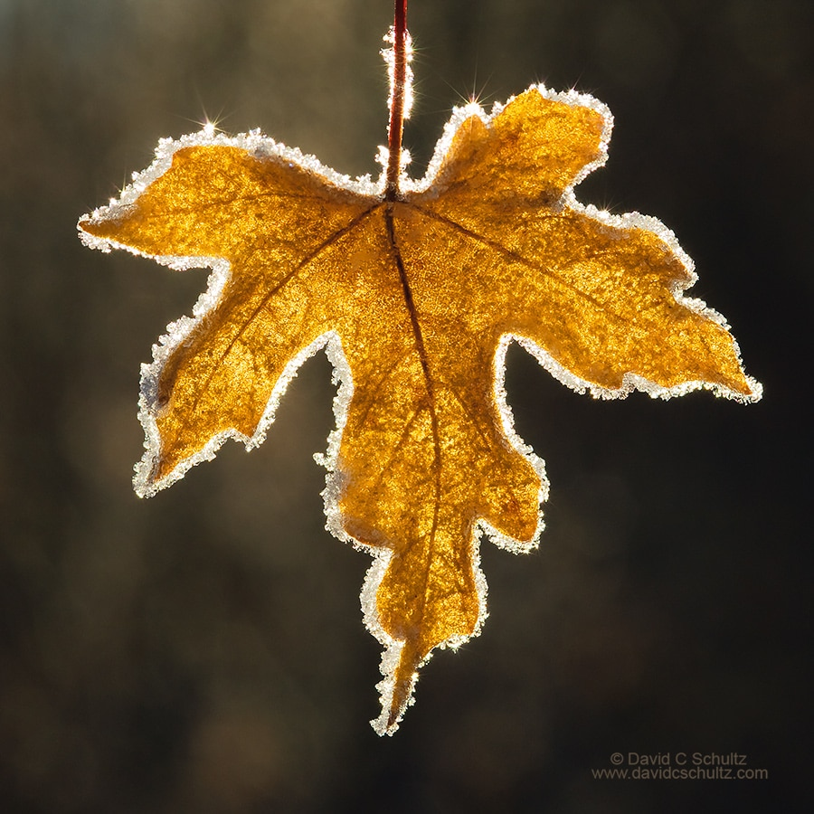 Close-up of back-lit maple leaf rimmed with frost - Image #3-6716
