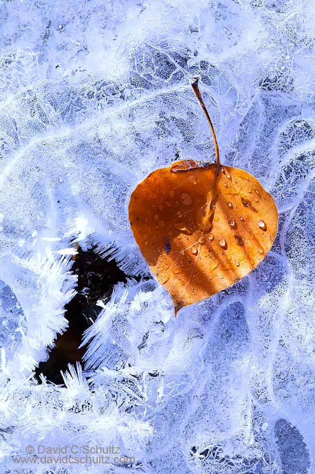 Aspen leaf on frozen stream - Image #3-6755