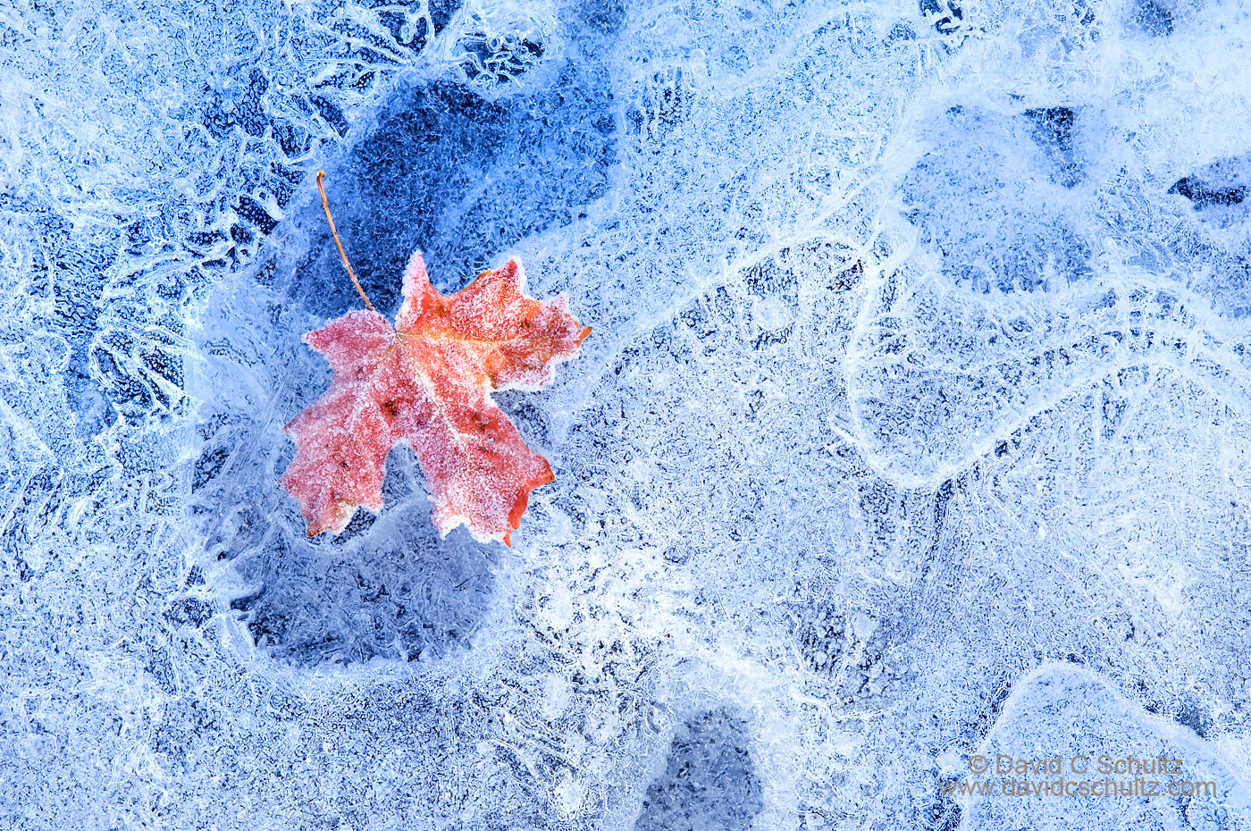 Maple leaf on frozen stream - Image #3-6794