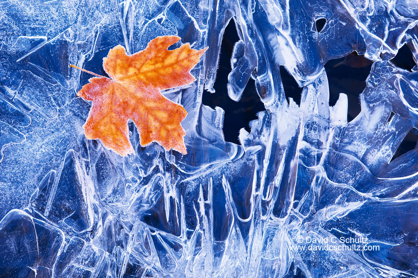 Maple leaf on frozen stream - Image #3-6856